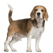 Beagle, 8 years old, standing in front of white background - stock photo