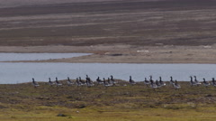 Arctic Barnacle Geese Running Towards A Pond Stock Footage