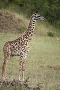 Giraffe in Serengeti National Park, Tanzania, Africa - stock photo