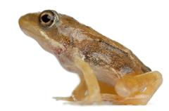 Nearly adult Common Frog, Rana temporaria, 16 weeks old, in front of white backg - stock photo