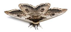 The largest European Moth, the Giant Peacock Moth, Saturnia pyri, in front of wh Stock Photos