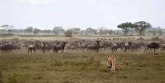 Lioness and herd of wildebeest at the Serengeti National Park, Tanzania, Africa - stock photo