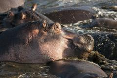 Hippo at the Serengeti National Park, Tanzania, Africa Stock Photos