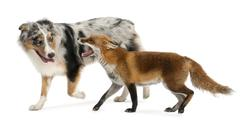 Red Fox, Vulpes vulpes, 4 years old, playing with Australian Shepherd dog in fro Stock Photos
