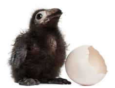 Ross's Turaco, Musophaga rossae, with his hatched egg, 1 week old, in front of w - stock photo