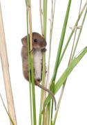 Harvest Mouse climbing on blade of grass in front of white background Stock Photos