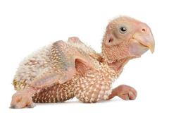 African Grey Parrot, Psittacus erithacus, 17 days old, in front of white backgro - stock photo
