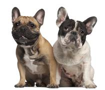 French Bulldog, 2 years old, and French Bulldog, 1 year old, sitting in front of - stock photo