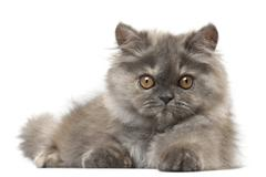 Persian kitten, 3 months old, lying in front of white background Stock Photos