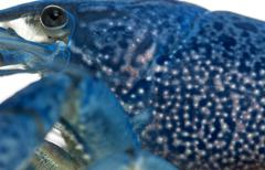 Close-up of Blue crayfish also known as a Blue Florida Crayfish, Procambarus all Stock Photos