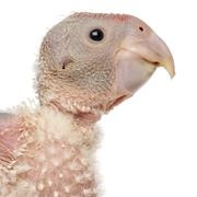 Close-up of African Grey Parrot, Psittacus erithacus, 17 days old, in front of w Stock Photos