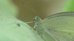 Green Butterfly macro sitt in green leaf, 4k Stock Footage