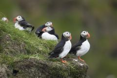 Atlantic Puffin or Common Puffin, Fratercula arctica, on Mykines, Faroe Islands - stock photo