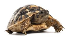 Young Hermann's tortoise, Testudo hermanni, in front of white background Stock Photos