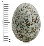 House Sparrow egg, Passer domesticus with centimeters, in front of white backgro - stock photo