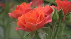 Red Hybrid Tea rose, flowers home in green background, flowerbed, 4k Stock Footage