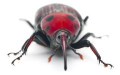 Female Red palm weevil, Rhynchophorus ferrugineus, 3 weeks old, in front of whit - stock photo