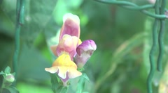 Pistil, leaves,  stigma in yellow flower Snapdragon, macro, field, Insect 4k - stock footage