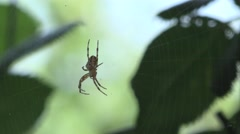 Spider insect macro in web sitting, contrast Stock Footage
