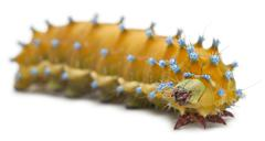 Caterpillar of the Giant Peacock Moth, Saturnia pyri, in front of white backgrou Stock Photos