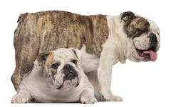 English Bulldog, 4 years old, and English Bulldog, 8 months old, in front of whi - stock photo