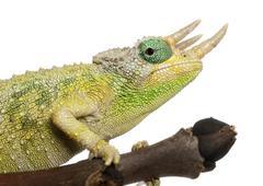 Close-up of Mt. Meru Jackson's Chameleon, Chamaeleo jacksonii merumontanus, part Stock Photos