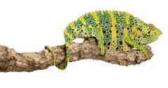 Meller's Chameleon, Giant One-horned Chameleon, Chamaeleo melleri, perched on br Stock Photos