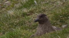 Skua on ground nest (seabird) Stock Footage