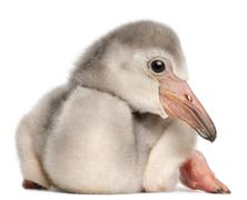 Stock Photo of Greater Flamingo, Phoenicopterus roseus, 4 days old, in front of white backgroun