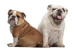 Stock Photo of English Bulldogs, 2 years old and 7 months old, in front of white background