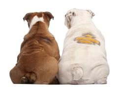 Rear view of English Bulldogs with design on their back, 2 years old and 7 month Stock Photos