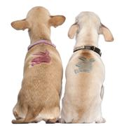 Two Chihuahuas with Playboy bunny on backs, 2 years old and 11 months old, sitti Stock Photos
