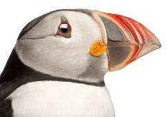Close-up of Atlantic Puffin or Common Puffin, Fratercula arctica, in front of wh Stock Photos