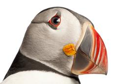 Close-up of Atlantic Puffin or Common Puffin, Fratercula arctica, in front of wh - stock photo