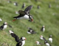 Atlantic Puffin or Common Puffin, Fratercula arctica, in flight on Mykines, Faro - stock photo