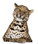 Leopard, Panthera pardus, lying in front of white background - stock photo