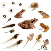 Composition of the complete evolution of a Common frog in front of a white backg - stock photo