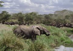 Elephant drinking in Serengeti National Park, Tanzania, Africa - stock photo