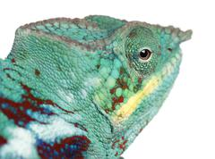 Close-up of Panther Chameleon Nosy Be, Furcifer pardalis, in front of white back Stock Photos