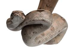 Salmon Boa constrictor, Boa constrictor, 2 months old, in front of white backgro Stock Photos