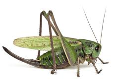Female wart-biter, a bush-cricket, Decticus verrucivorus, in front of white back - stock photo