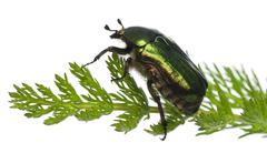 Rose chafer, Cetonia aurata, on plant in front of white background - stock photo