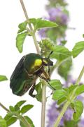 Rose chafer, Cetonia aurata, on plant in front of white background Stock Photos