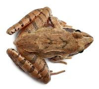 High angle view of a Moor Frog, Rana arvalis, in front of white background - stock photo