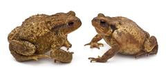 Two common toads or European toads, Bufo bufo, facing each other in front of whi - stock photo