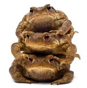 Three common toads or European toads, Bufo bufo, stacked in front of white backg - stock photo