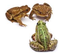 Common European frog or Edible Frog, Rana kl. Esculenta, facing common toads or  Stock Photos