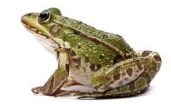 Common European frog or Edible Frog, Rana kl. Esculenta, in front of white backg Stock Photos
