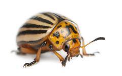 Colorado potato beetle, also known as the Colorado beetle, the ten-striped spear - stock photo
