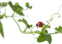 Seven-spot ladybird or seven-spot ladybug on Larger Bindweed, Coccinella septemp - stock photo